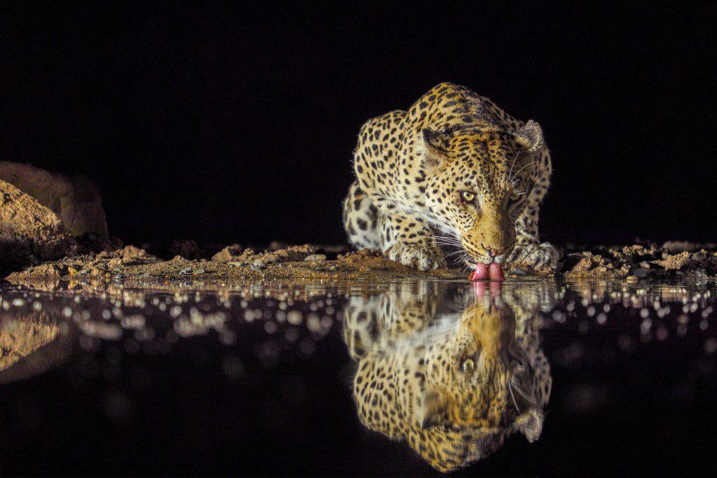 Leopard drinking