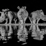 photo of 3 white rhinos
