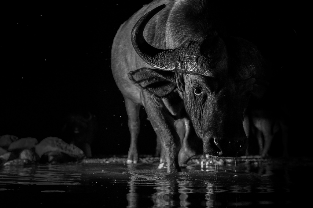 Sidelit photo of a Cape buffalo at night