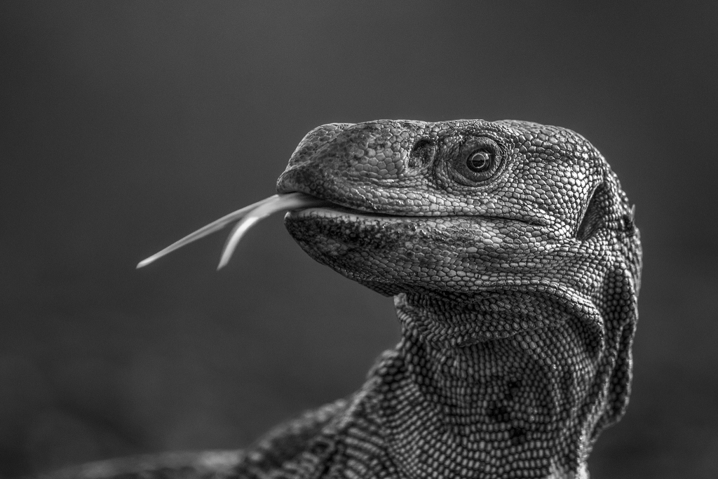 Profile of a monitor lizard's head with its tongue protruding