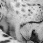 A sleeping cheetah