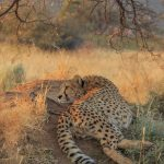Cheetah lying on a termite mound