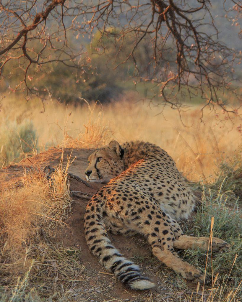 Cheetah lying on a termite mound