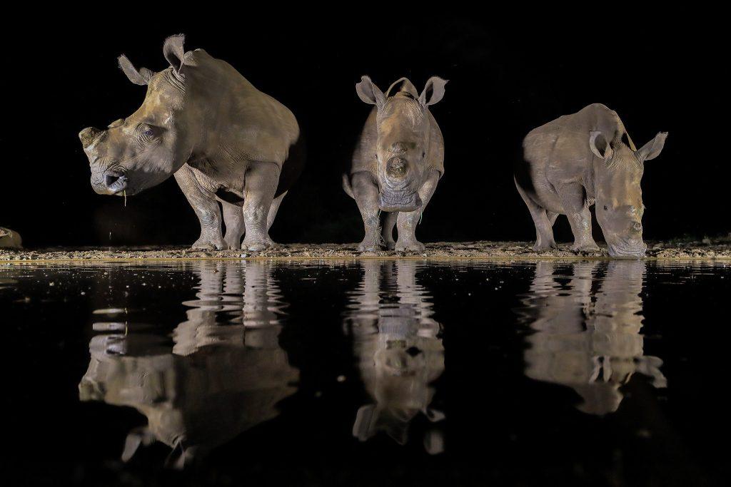 3 white rhinos drinking at night