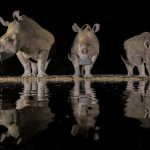 3 white rhinos drinking at night